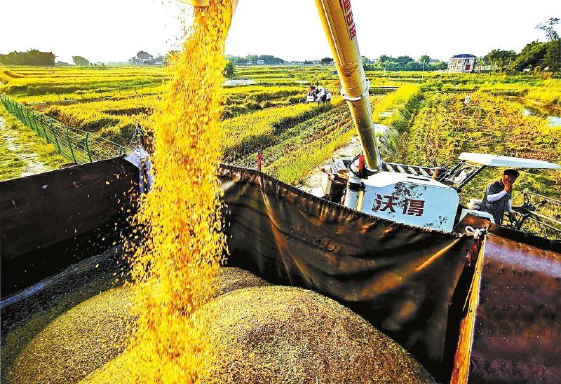 岳池县种粮大户用机器收稻谷。 张启富 摄