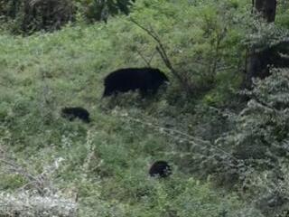 熊出没,请注意!黑熊妈妈拖家带口现身四川唐家河