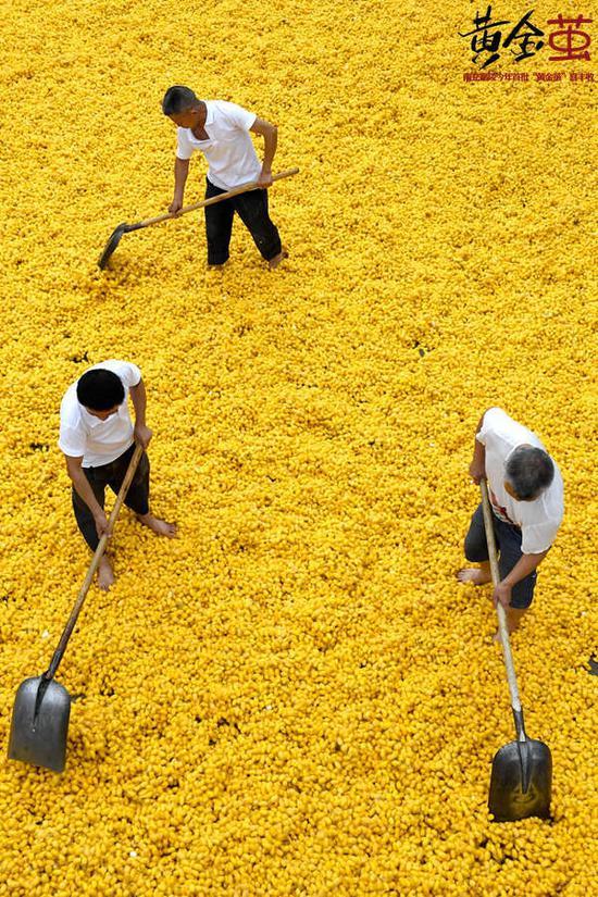 南充市嘉陵区一家丝绸企业,工作人员正在晾晒黄金茧