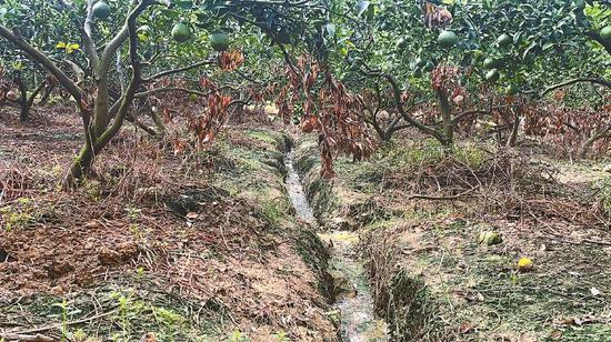 被污水浸泡后,果园里树叶和草地枯黄,果实坏死。