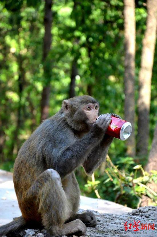 泸山上的猴子抢夺饮料 资料图