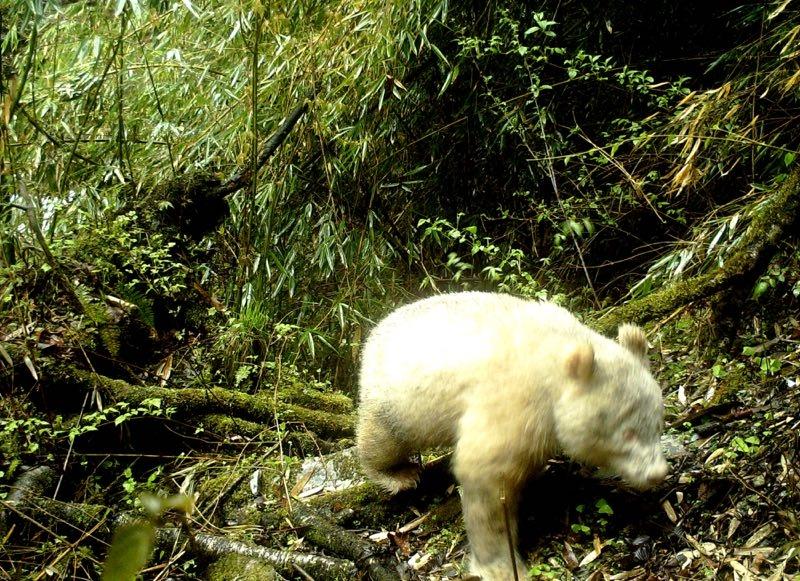 罕见!四川卧龙拍摄到白色大熊猫
