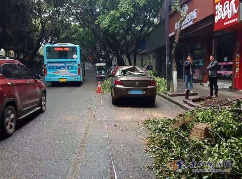 乐山城区一行道树倒塌阻断交通 园林及时清障
