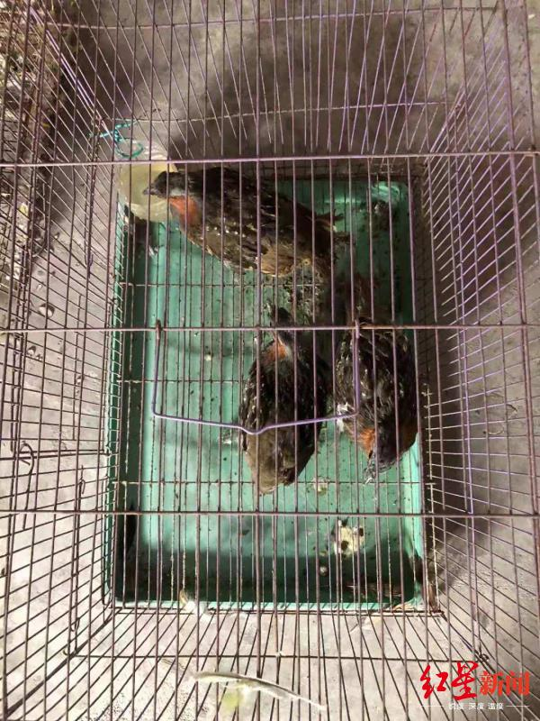 ↑郑某养殖的鸟类野生动物被没收