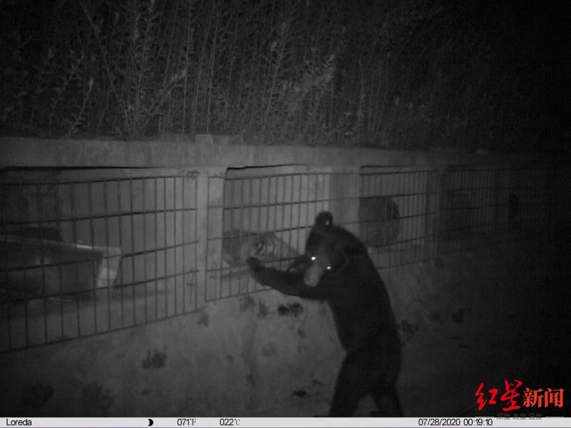黑熊进村偷吃蜂蜜一晚吃掉15斤 3年来已偷吃300箱