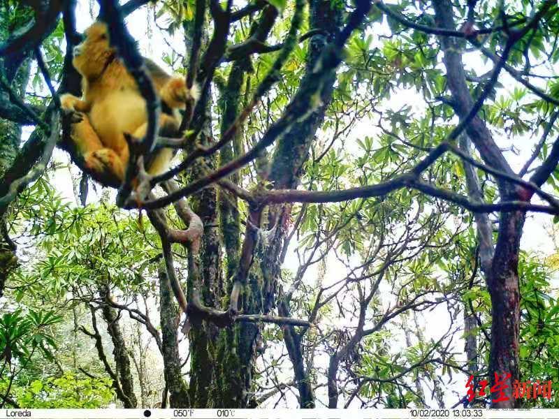 黄龙景区首次拍摄到野生川金丝猴种群