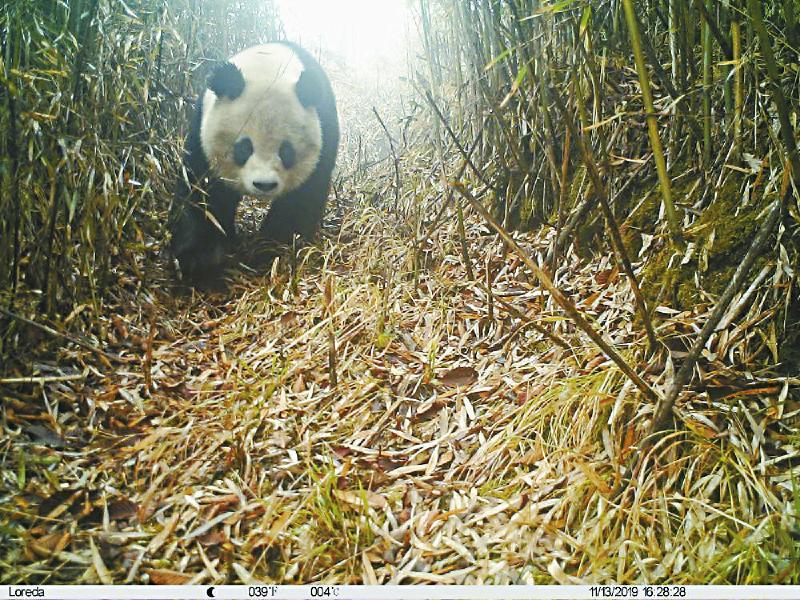 """小种群仅有35只 大熊猫九顶山小种群为何""""猫丁凋零""""?"""