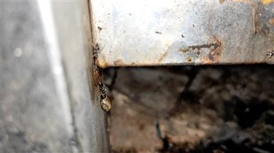 蚂蚁将中国巨竹节虫卵搬入巢穴过程(视频截图)