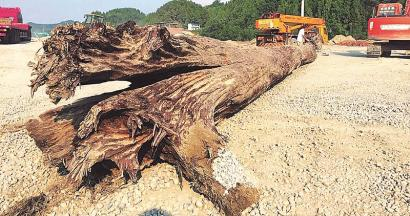千年乌木现身仪陇 长达27米直径达1.5米