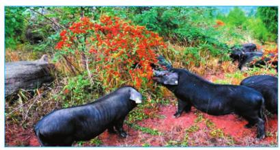 猪肉价格何时上涨? 四川养殖户每头生猪亏300-500元