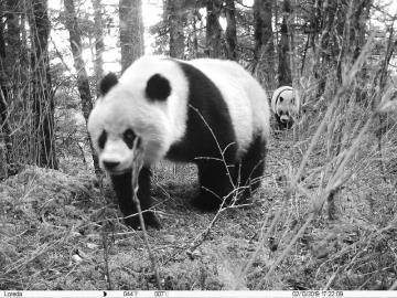 在黄龙自然保护区,红外相机拍到一只野生大熊猫宝宝跟在大熊猫妈妈身后,穿过一片箭竹林。   黄龙自然保护区供图