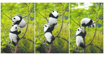 童趣 周孟棋2016年4月摄于成都大熊猫繁育研究基地