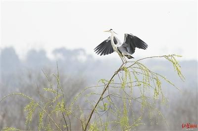 成都城区藏着一座鸟岛 鸟类是反映生态环境健康重要的晴雨表