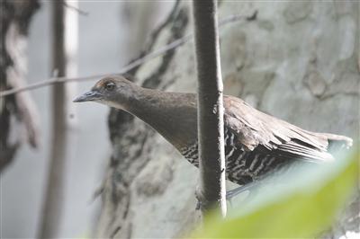 白喉斑秧鸡   摄影 袁开放