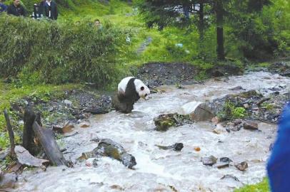 4月救回来的那只大熊猫在九寨沟放归啦