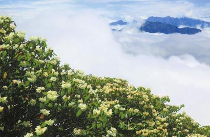 盛开在彭州白水河国家级自然保护区的高山杜鹃。 罗国杨摄(视觉四川资料图片)