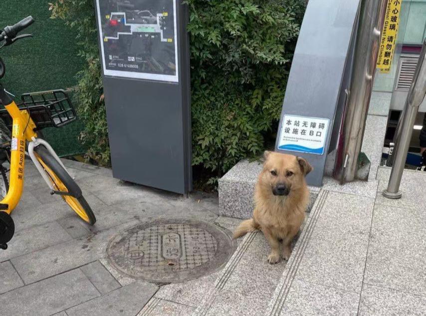 """""""成都忠犬""""地铁口守候多日 居民:估计是在等主人"""