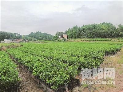 雁江成为国家柑橘繁育基地