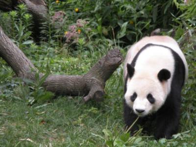 四川林業部門發文:禁止商業性近距離接觸圈養大熊貓