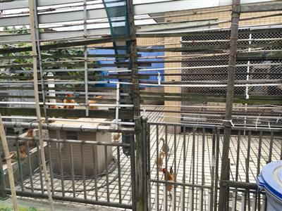 业主陈先生在天台上拍摄到的鸡、鸭的照片