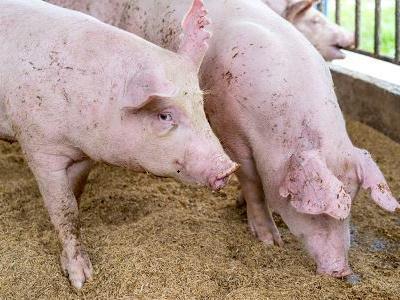 农业农村部:四川乐山发现非洲猪瘟疫情