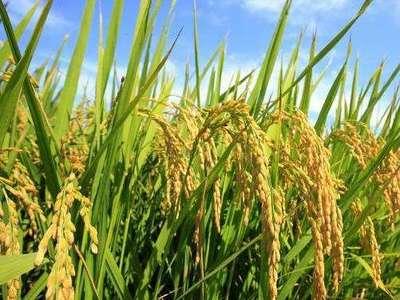 """秋收""""成绩单"""":硕果累累 水稻订单增加10万亩"""