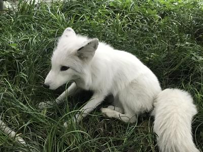 四川内江城区发现白狐 送到公园找到同伴