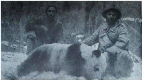 1931年,德国动物学家恩斯特·舍费尔将一只栖息在树上的熊猫幼崽成功射下。
