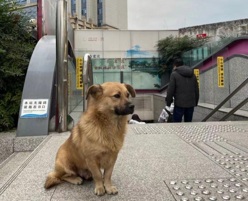 """""""成都忠犬""""地铁口守候多日 附近居民:陌生人都带不走"""