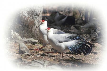 四川25种雉鸡类 一半以上出现在卧龙