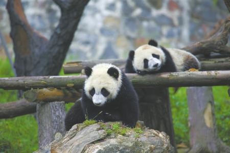 熊猫乐园 何勃摄