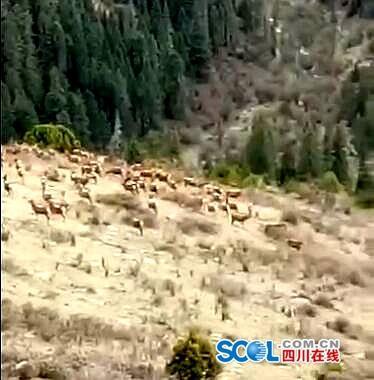 白玉县章都乡发现国家一级保护动物白唇鹿