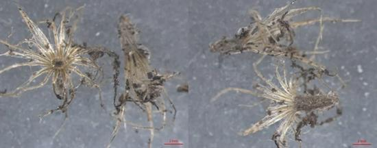 成都海关截获一种严重入侵类植物 暗藏大量活体线虫
