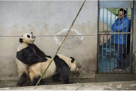 我的族群,是如此脆弱,是如此不堪。我大熊猫国,还有复国的希望吗?