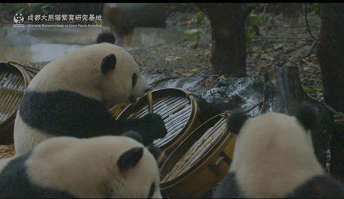 熊猫基地国庆7天限流 单日6万张全部实行网络购票
