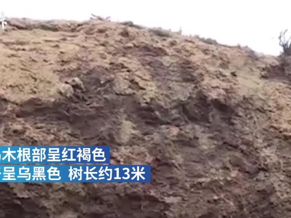 四川河道清淤挖出巨型乌木,初步确认埋藏了上千年