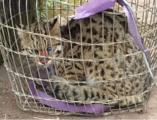 富顺一村民救助豹猫获奖励