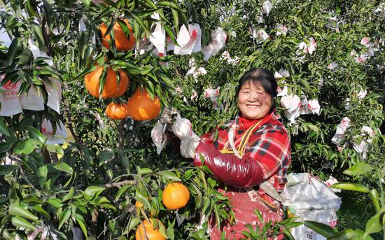 天府新区眉山片区的村民采摘耙耙柑。受访者供图
