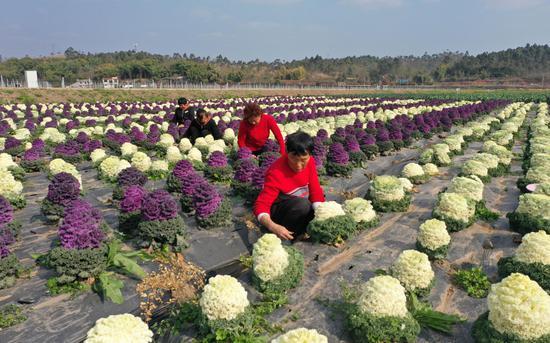 当地村民在采摘花椰菜。受访者供图