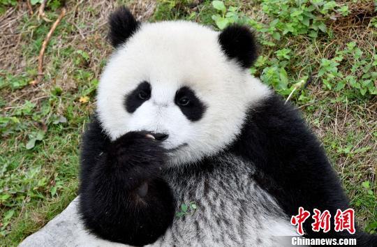 """四川聚焦大熊猫保护 推进""""四个保护""""战略"""