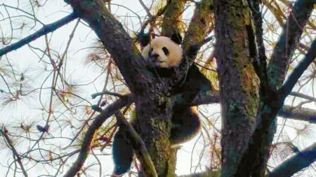 ▶冕宁野生大熊猫爬到树上晒起了太阳。