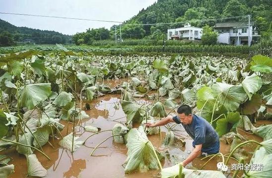 资阳市雁江区保和镇:洪水过后 生产自救