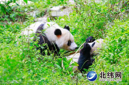 三问雅安 探索大熊猫国家公园建设进展如何?