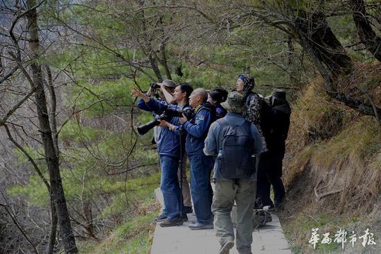 大熊猫爬上30米高树晒太阳