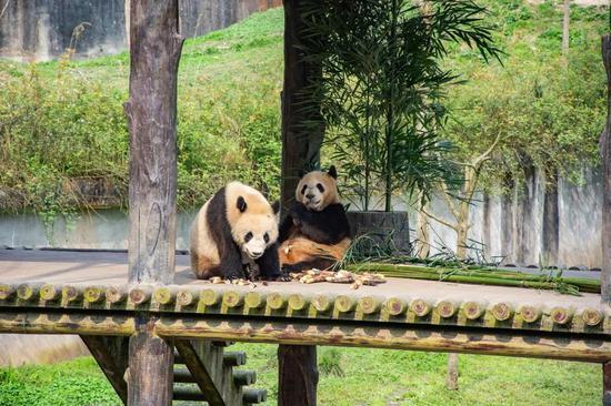 """""""云上""""看熊猫 千里圆心愿"""