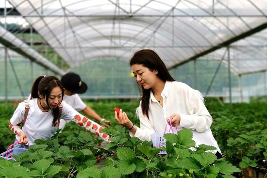 胡远(右)和朋友在农庄草莓园中采摘草莓。