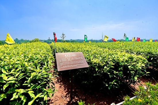 川茶集团茶树品种选用比较示范园