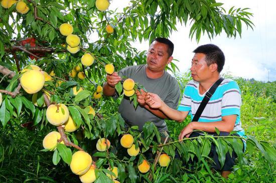 石棉县迎来丰收季 发展黄桃产业助农增收
