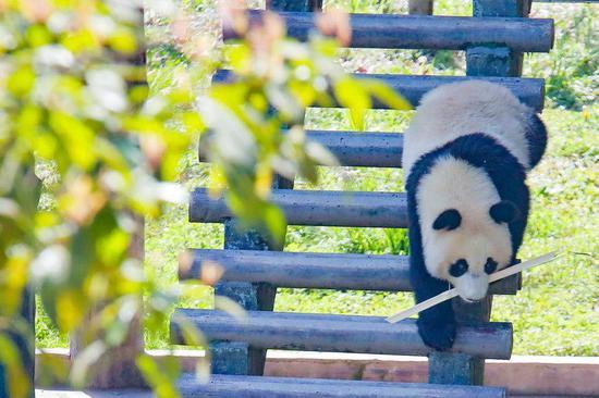 碧峰峡景区的内大熊猫