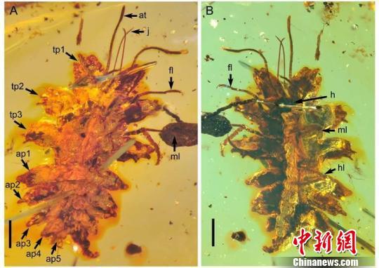 图为缅甸琥珀中黄氏拟苔草蛉。 南古所 杨定华 摄